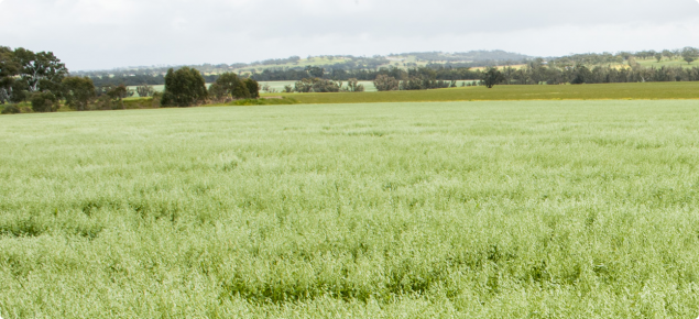 View across an oat crop with pannicles fully emerged.