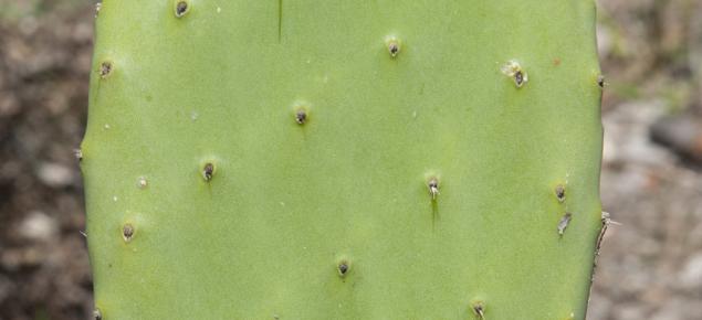 Prickly pear pad