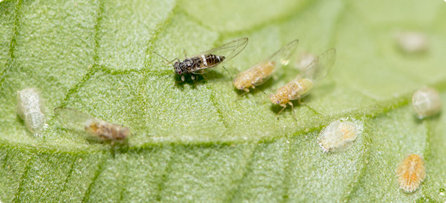The insect pest, tomato potato pysllid, on underside of leaf.