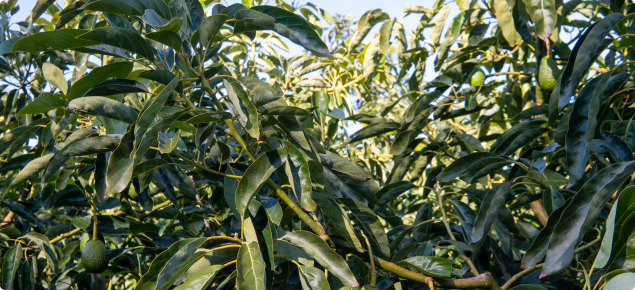 A single growth flush of an avocado tree with fruit at the base of the flush. The leaves are distinctly winked as is typical for growth treated with gibberellin inhibiting growth regulators.