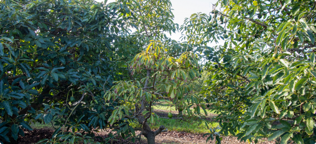 A sick avocado tree is shown with yellowing wilted leaves and which is much smaller than the healthy trees to either side of it in the row.
