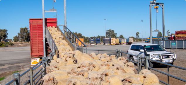 Sheep waiting to be loaded onto truck