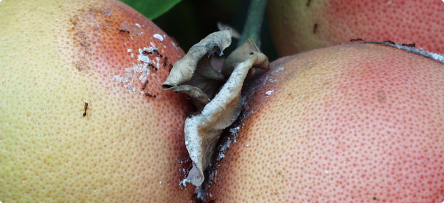 Mealybugs are often found between touching fruit