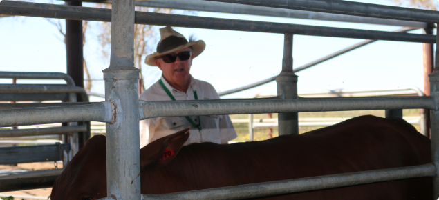Cattle producer weighing cattle on-farm