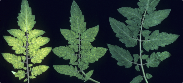 Tomato leaves showing the net like pattern that occurs due to manganese deficiency. The leaf tissue between the veins becomes light green to yellow colour, while the veins remain dark green.