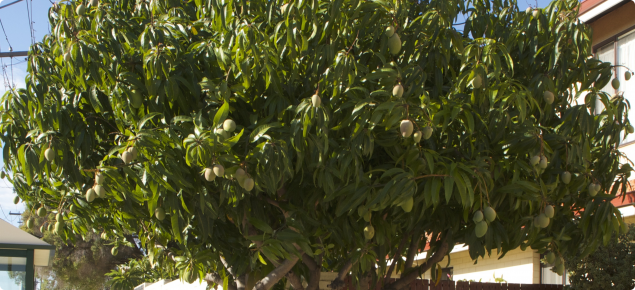 Mango Trees Growing In Suburban Perth Can Bear Well