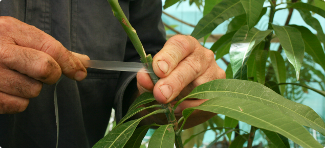 Grafts need to be protected with tape