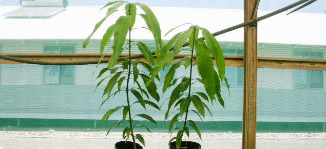 Young mangoes grown from seed are used as rootstocks for new plantings
