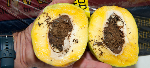Mango cut in two halves exposing the infested seed and resulting damage caused by mango seed weevil