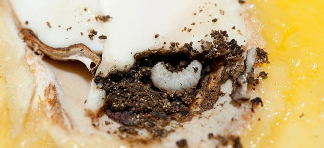 Mango seed weevil larva that has been exposed in a mango seed that has been cut open
