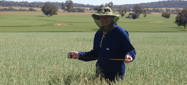 Mark Holland walking through an oat crop inspecting for certification