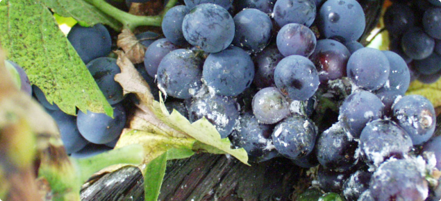 Mealy bug damage on grape bunch