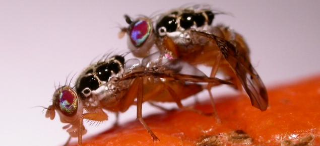 Medflies mating