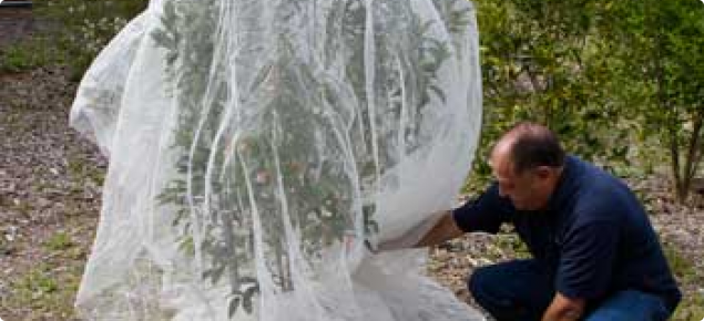 Photo caption: Medfly-netting: Netting individual fruit trees to help guard against fruit fly.