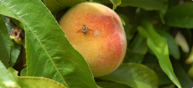 Fruit fly stinging a peach fruit on a tree.