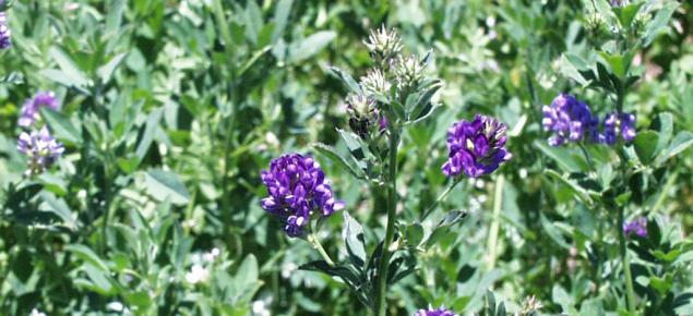 Purple flowers of lucerne