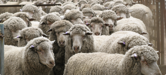 Picture of a group of Merino Sheep