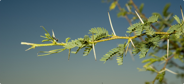 Mesquite branch with bipinnate leaves and spines