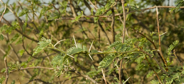 Mesquite branches with bipinnate leaves and spines