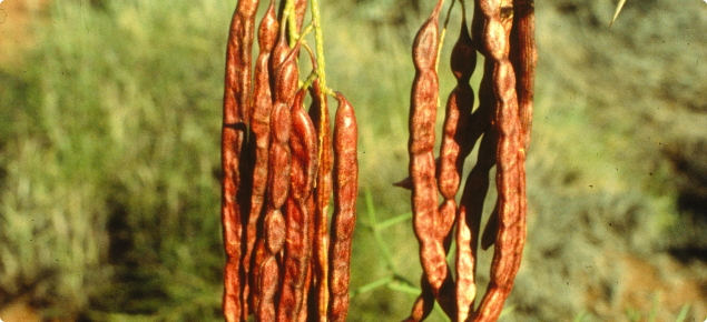 Mesquite seed pods