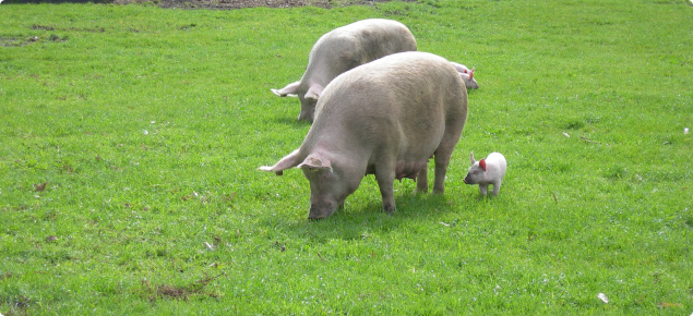Outdoor pork production, sow and weaner grazing on a free range property.