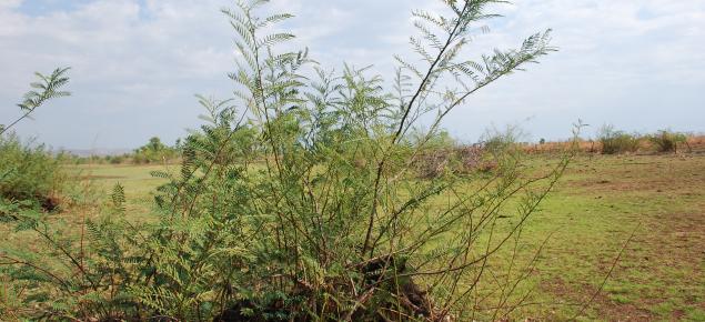 Mimosa shrub