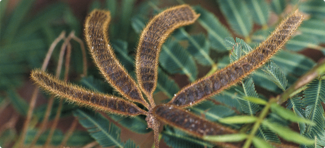 Mimosa seed pods