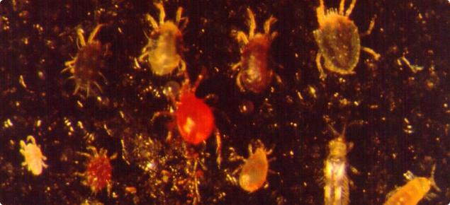 Phytoseiulus persimilis (centre, red colour), the predator of two spotted mite.