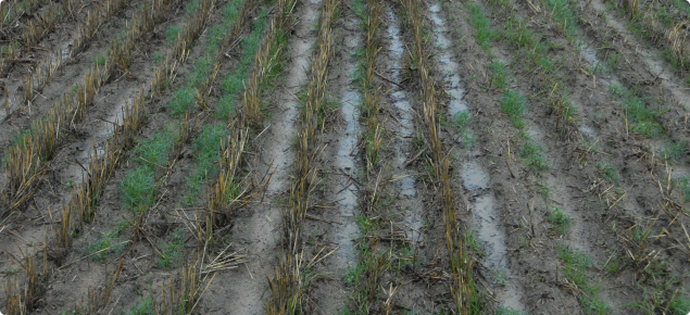 Water ponding on repellent soil after rain