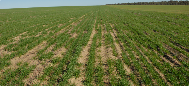 Impact of moderate repellence on crop establishment furrow sown with knife points