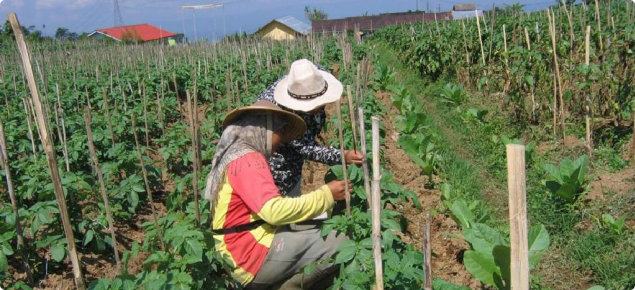 Indonesian farmers monitoring potato crops to avoid unnecessary applications of insecticide
