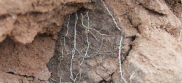 roots confined to cracks filled with topsoil in a compact soil