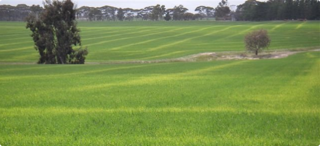 N deficiency on old stubble rows reflected as waves of yellow foliage in the crop