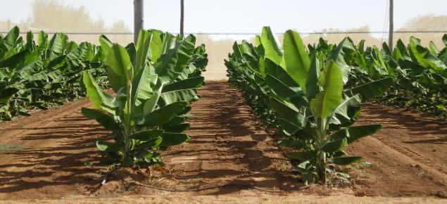 bananas growing under net
