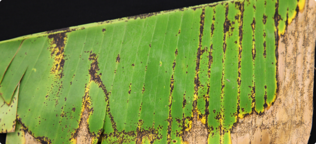 Banana freckle symptoms on banana leaf
