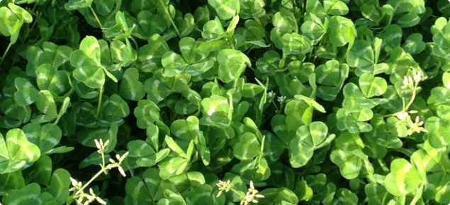 Narrikup subterranean clover | Agriculture and Food