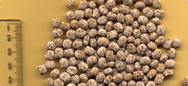 Photograph of about 100 seeds of narrow-leaved lupin lying flat on a table. The seeds have a rounded kidney shape and are beige coloured with brown mottling. The scale to the left of the photograph indicates seeds are about 7 mm at their widest.