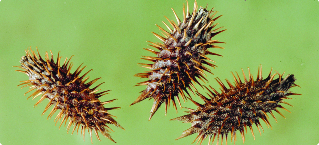 Noogoora burr seeds, burrs