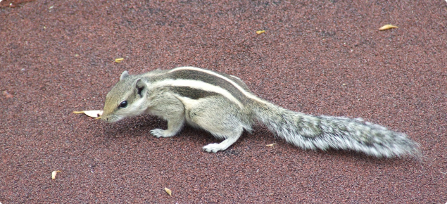 Palm squirrel standing on a pavement