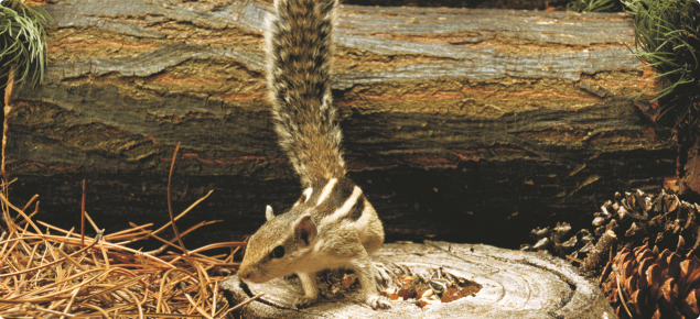 Northern palm squirrel standing on a tree stump.