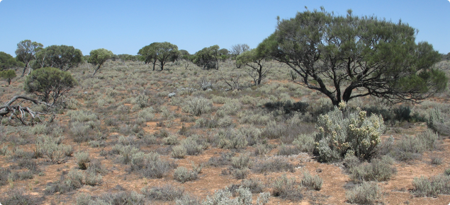 Myall woodland over saltbush shrubland, Nyanga land system