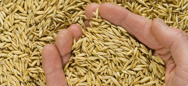 Two hands scooping bright grain from a pile of oats