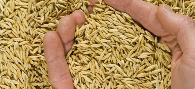 A handful of bright, plump oat grain.