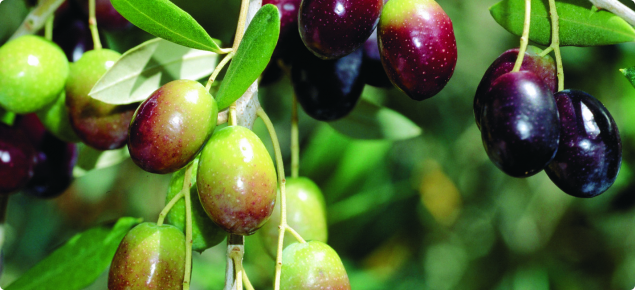 Olive Tree Pests And Diseases Agriculture And Food