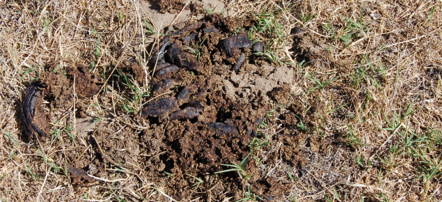 Dung beetle activity