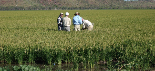 Commercial Rice grown in the Ord River Irrigation Area