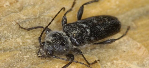 EHB Adult Beetle