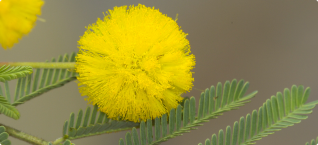 Acacia nilotica yellow flower and leaves
