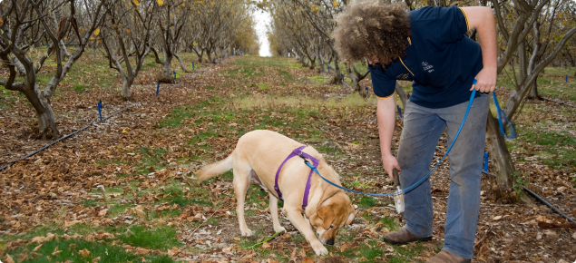Truffle detector dog indicating location of ripe truffle with paw