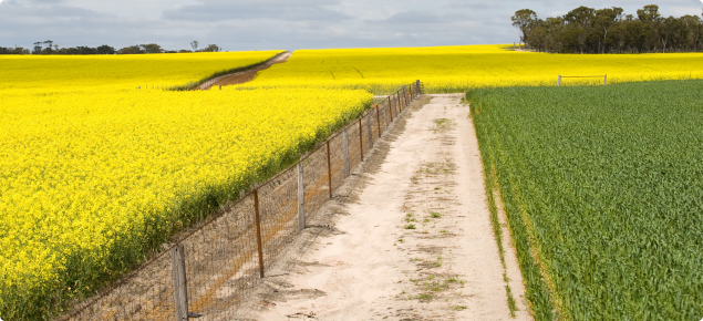 Flowering canola crop on the left with a clean barrier fence-line in the middle of the image with a wheat crop in the adjacent paddock